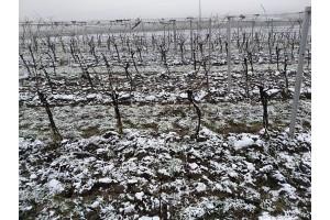 Zima na vinici