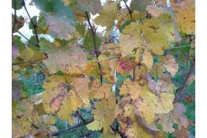 Podzim ve vinicích